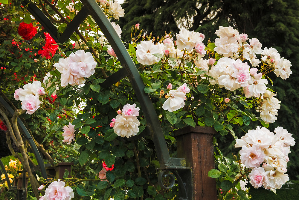 Roses in the Central Rose Garden, Christchurch, Canterbury, South Island, New Zealand