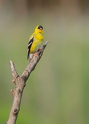 A Male American Goldfinch On A Stick