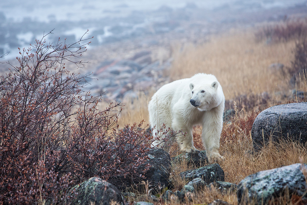 Polar bear wandering by
