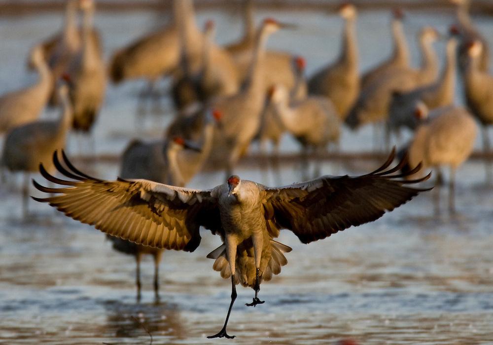PlatteRiver2008.9-Sandhill Cranes make their annual stopover along the Platte River in central Nebraska during the spring migration.