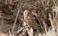 A Short Eared Owl perches on a sagebrush stump.