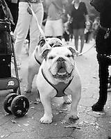 Bulldog in Central Park, NYC.