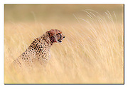 Male cheetah in the long savanna grass of Maasai Mara, Kenya. Nikon D5, 600mm, f4, EV+0.33, 1/5000sec, ISO400, Aperture priority