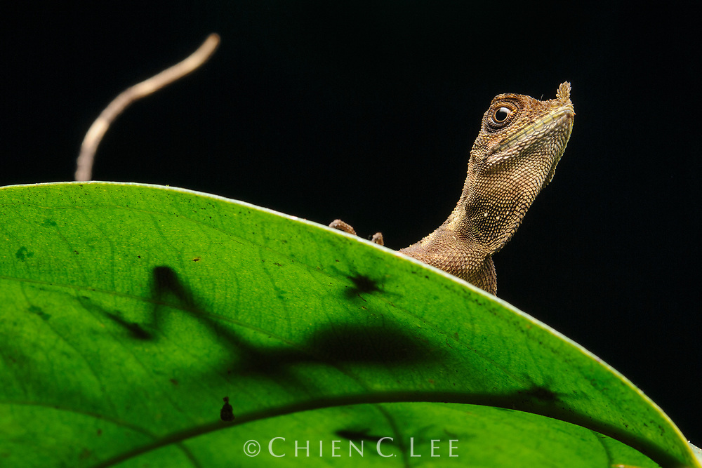 The unusual Leaf-nosed Lizard (Aphaniotis ornata) is endemic to the rainforests of Borneo. Sabah, Malaysia.
