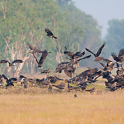 Black Kites (Milvus migrans) feeding on a carcass at Nakhorn Nayok in Thailand.