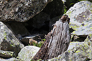 American Pika, Ochotona princeps, in Cascade Canyon, Grand Teton National Park, Wyoming. I was always told pikas, which are related to rabbits and hares were shy creatures that warned each other of intruders by whistling. These pikas, however, were definitely curious, and wandered our from their rocky homes to check out the interlopers.