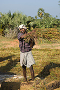 Farmer Threshing rice in South India.