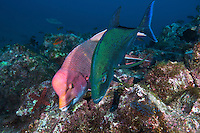 Mexican Hogfish and Black Jack hunting together<br /> <br /> Shot in Mexico