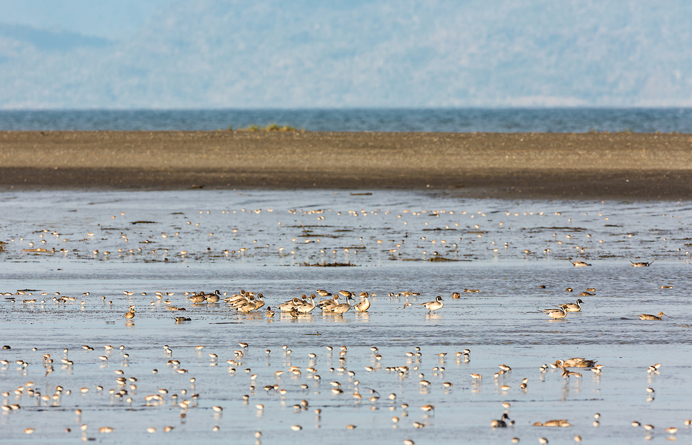 Western Sandpipers (Calidris mauri),  Dunlins (Calidris alpina), and Northern Pintails (Anas acuta) forgaging in Mud Bay along the Homer Spit in Southcentral Alaska during their spring migration to the arctic. Afternoon.
