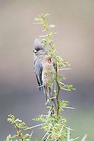 White-Backed Mousebird, Karoo National Park, Western Cape, South Africa