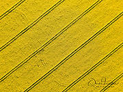Aerial drone view of a yellow rapeseed field.