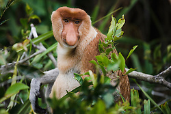 A curious dominate male proboscis or long-nosed monkey (Nasalis larvatus) poses and looks into the camera, Borneo, Indonesia