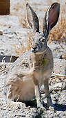Hare, Black-Tailed Jackrabbit / Lepus californicus
