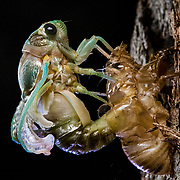 A cicada emerges from its exoskeleton at night in The Bahamas.