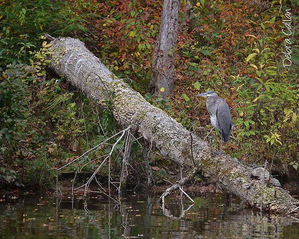 Great Blue Heron hanging out with 2 turtles at Raccoon Creek State Park.