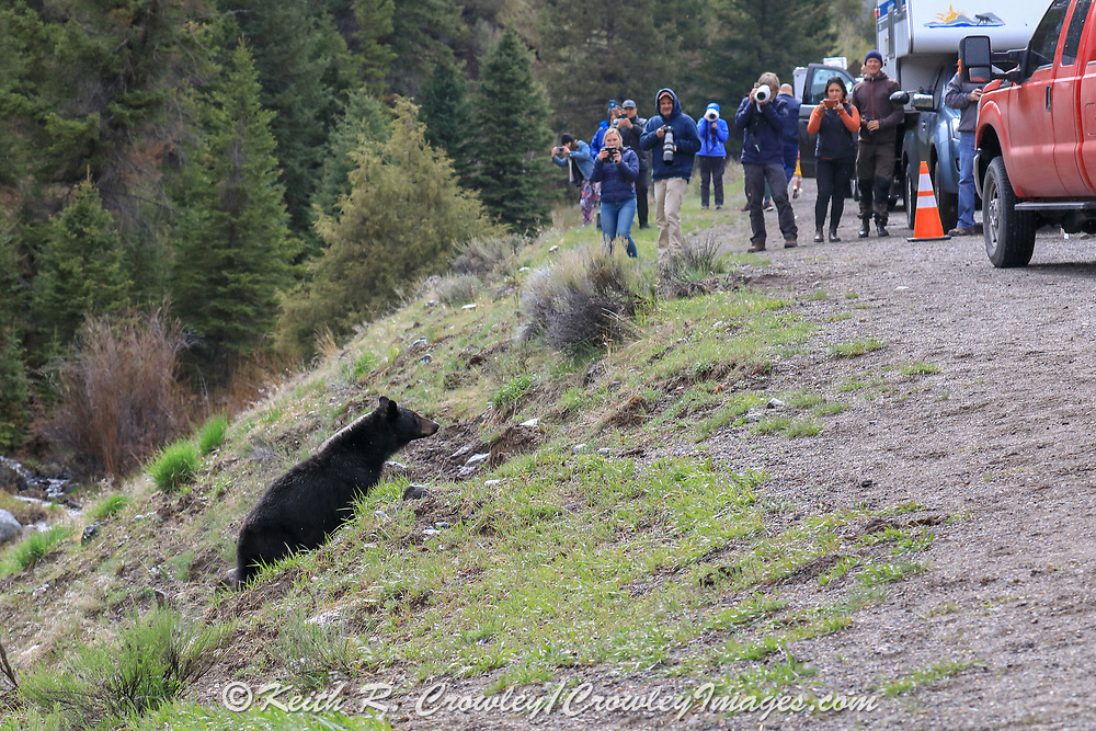 Young black bear approaches tourists in Yellowstone National Park
