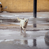 A dog trots through slush at the Second Street and Maloney intersection in Gallup Monday.