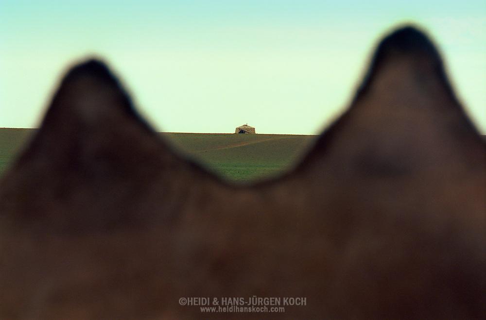 Mongolei, MNG, 2003: Blick hindurch zwischen den beiden Höckern eines Kamels (Camelus bactrianus). Die Höcker bestehen nur aus Fett und wiegen zwischen 25 und 35 kg. Im Hintergrund eine Jurte. | Mongolia, MNG, 2003: Camel, Camelus bactrianus, view between the two humps in the front, humps consists of pure grease, weight between 25 to 35 kg, yurt (mongolian Ger) in the back at the horizone, South Gobi. |