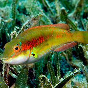 Bluelip Parrotfish inhabit shallow seagrass beds, occasionally in coral rubble mixed with gorgonians in Tropical West Atlantic; picture taken Bequia, Grenadines.