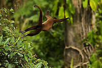 Woolly Monkey (Lagothrix poeppigii) at the Tiputini Biodiversity Station, Orellana Province, Ecuador<br />