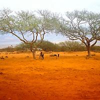 Paisaje árido con chivos y cujies, Península de Araya, Estado Sucre, Venezuela