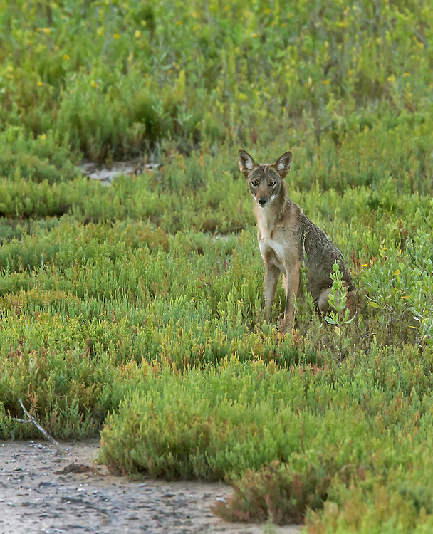 Coyote, Canis latrans;<br /> Photographer:  Stephen Fisher<br /> Property:  Texas Photo Ranch / River Revocable Surface, LLC-River Testamentary Surface, LLC<br /> Refugio County