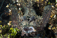 Devil Scorpionfish, mouth agape<br /> <br /> Shot in Indonesia