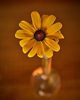 Black-eyed Susan flower. Backyard Autumn Nature. Image taken with a Nikon D810a camera and 60mm f/2.8 macro lens (ISO 200, 60 mm, f/5.6, 1/13 sec).