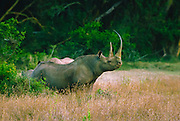 Black rhino, Diceros bicornis, one of the most endangered large mammals. Across the African continent rhinos, both black and white, are heavily poached for their horns making them one of the most endangered species. Currently, Black rhino population in Africa is estimated to be less than 3600. In 1900 it was estimated to be in the hundreds of thousands.