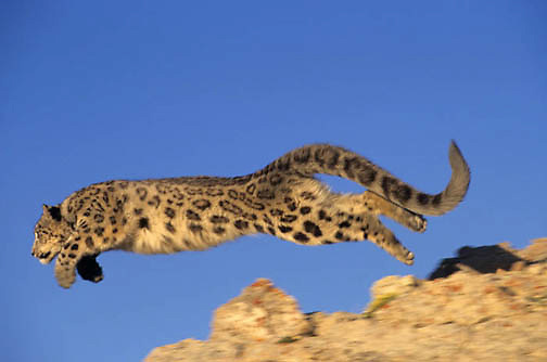 Snow Leopard, (Panthera uncia) Inhabits high mountains in central Asia. Running.  Captive Animal.