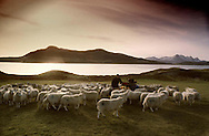 Melness crofter Frank Gordon in his field with his flock of North Country Cheviots, overlooked by Ben Loyal, Sutherland on Scotland's north coast. Crofting was a traditional way of life for many people in the Highlands and Islands of Scotland. It was a system of small-scale agriculture where the individual farmers grew small amounts of crops and kept sheep, cattle and other livestock in small-holdings.