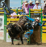A bull rider is thrown to the dirt during the third day of competition at the Strathmore Stampede in Strathmore, Alta. on Sunday, Aug. 4, 2013. (Photo by Jenn Pierce)