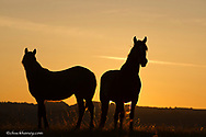 Wild horses silhouetted by the rising sun in Thedore Roosevelt National Park, North Dakota, USA