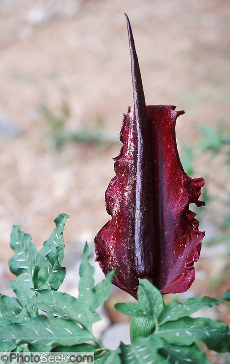 The purplish-red spathe (specialized leaf or bract) and foul-smelling stench of the dragon arum (Dracunculus vulgaris, also called dragonwort, dragon lily, or voodoo lily) attracts flies to the base of its erect, flower-bearing spadix in Samaria Gorge on the island of Crete, in Greece, Europe. The purple spadix can reach over a meter long. With an odor of dung or rotting meat, the Dragon Arum entices flies deep inside into the bulbous chamber of its spathe where the flowers are actually located. The insects can sometimes get trapped overnight but are later freed, covered in pollen to find other flowers for pollination.