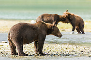 Male brown bears (Ursus arctos) fight for dominance to fish for salmon along Geographic Creek at Geographic Harbor in Katmai National Park in Southwestern Alaska. Summer. Afternoon.