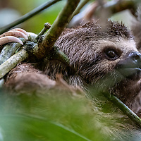 A brown-throated three-toed sloth hangs from tree branches on Casual Trail near Nauta in the Peruvian Amazon.