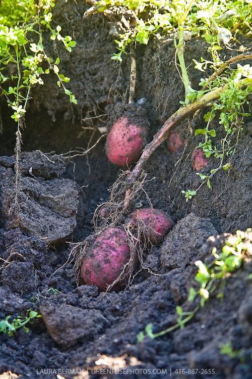 Heritage potato harvest.
