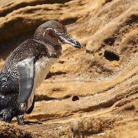 Isabela Galapagos Penguin
