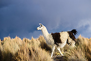 A llama in Sajama National Park.