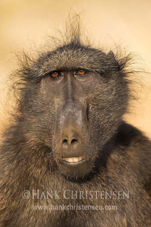 A chacma baboon sits in short savannah grass, Naan Ku Se Wildlife Sanctuary, Namibia.