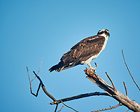 Osprey perched in the morning sun at Fort De Soto park. Image taken with a Nikon One V3 camera and 70-300 mm VR lens (ISO 200, 300 mm, f/5.6, 1/500 sec).
