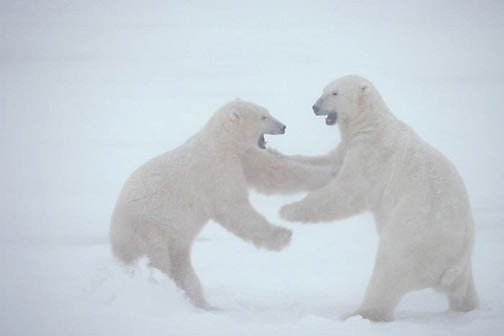 Polar Bear, (Ursus maritimus) Sub adults play fighting, waiting for Hudson Bay to freeze. Manitoba. Canada.