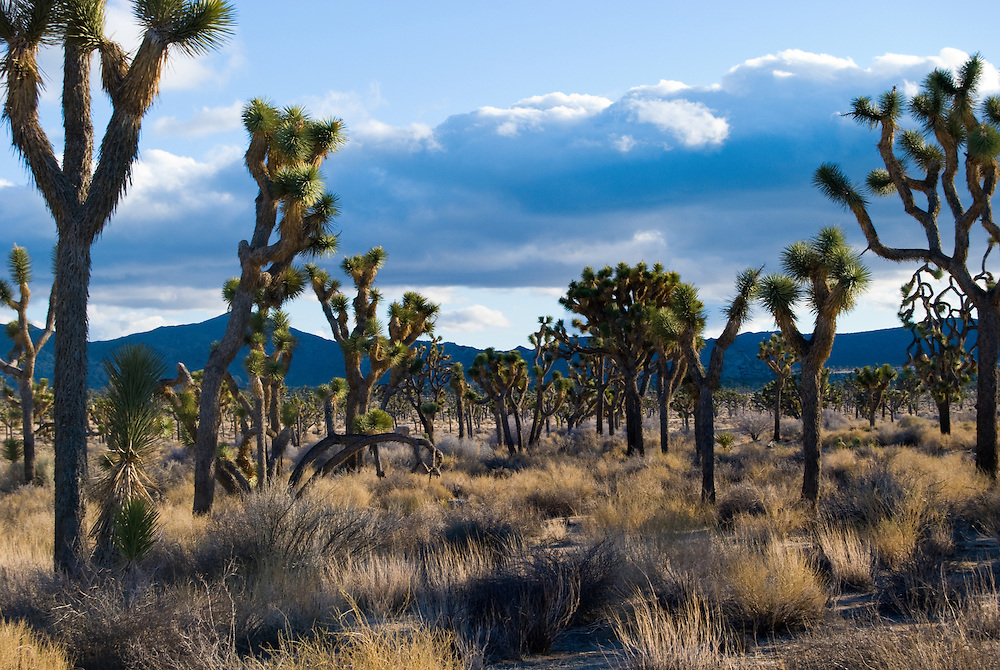 Joshua Tree National Park by Anthony Estes