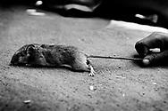 I Malawi spiser børnene mus, da det er det eneste kød de ofte har mulighed for at få. De jagter musene med hakker og graver ned i deres gange til de finder musen. Her holder en dreng en stor mus i halen.