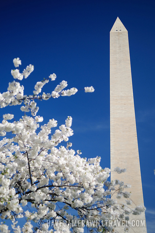 The Washington Monument is framed by white Cherry Blossoms against a deep blue sky. Selective focus on the Washington Monument. Copyspace.