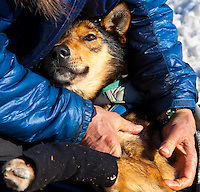 A musher massages one of his dogs during the 2011 Iditarod Trail Sled Dog Race at the check-point in Unalakleet, Alaska.
