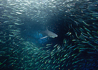 Sardine run; South Africa; Wild Coast; Bryde whale; (Balaenoptera edeni); sardine; common dolphin; gannets; Bronze whaler; dusky shark feeding on bait ball of sardines