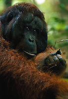 Portrait of Jari Manis, an adult male Bornean Orangutan (Pongo pygmaeus), taken in the wild.
