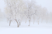 Winter Trees Draped in Frozen Fog, Wallowa Mountains, Oregon