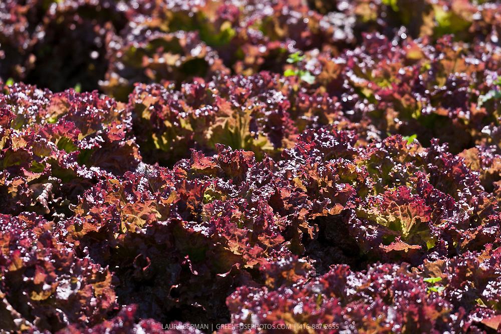 Lollo Rosso lettuce (Lactuca sativa 'Lollo Rosso Dark')
